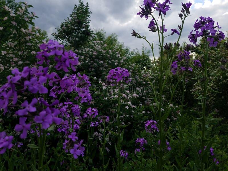 Púrpura y color de rosa imagenes de archivo