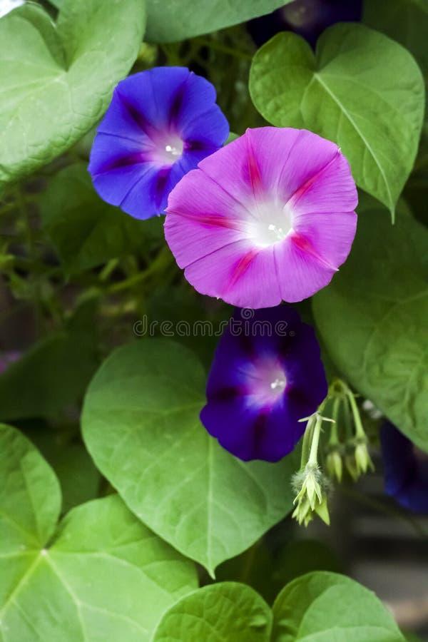 Púrpura y el subir azul de las flores de Glory Ipomoea de la mañana imagenes de archivo