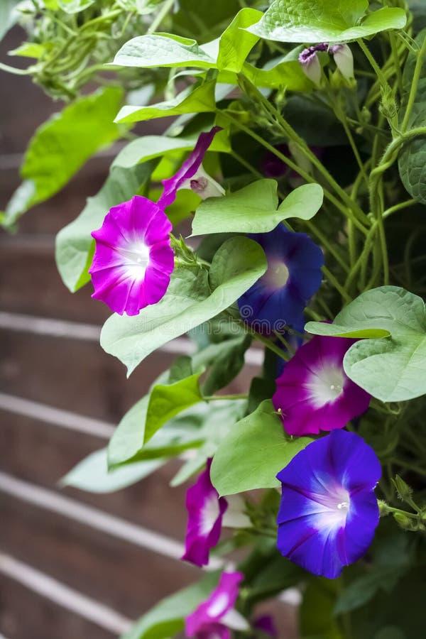 Púrpura y flores azules de Glory Ipomoea de la mañana que suben a lo largo de la cerca de madera fotografía de archivo
