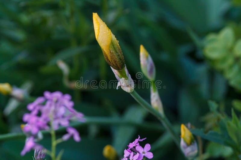 Pączek żółty irys zdjęcie royalty free