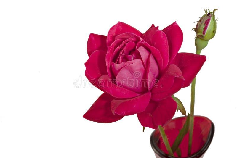 pączek odizolowywający czerwieni róży biel fotografia stock