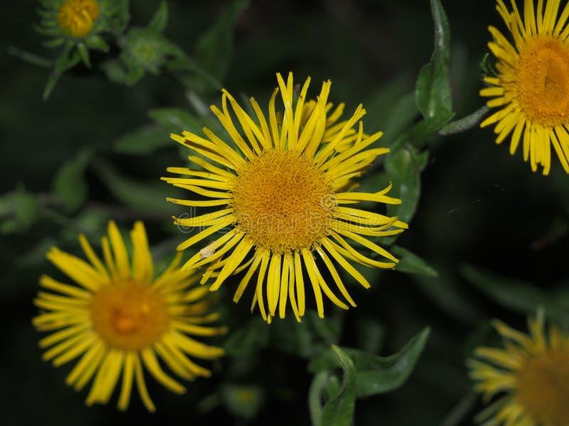 Pączek zasadza nard lecznicza roślina Płatki są żółci obraz royalty free
