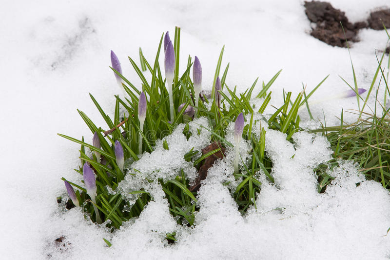 pączków krokusa śnieg obrazy royalty free