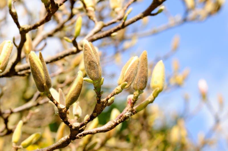 pączków magnoliowa wiosna oferta obrazy royalty free