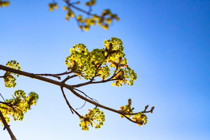 Pączki kwitnący na kasztanie fotografia stock