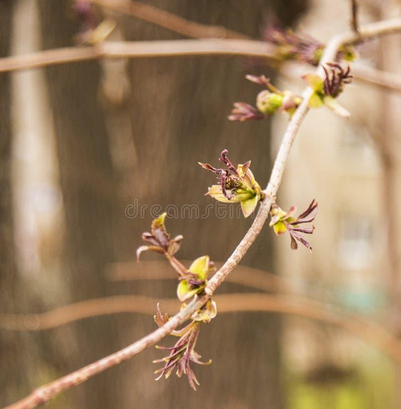 Pączki na drzewie wkrótce obracają w liście obraz royalty free