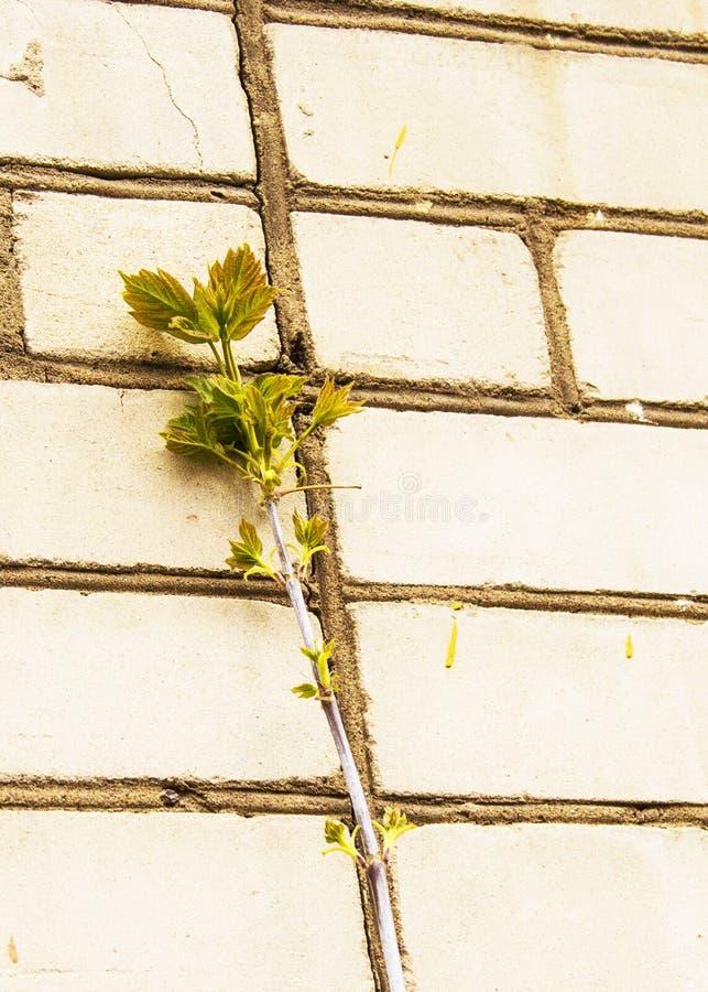 Pączki na drzewie wkrótce obracają w liście obrazy royalty free