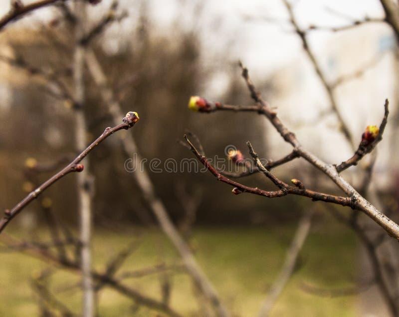 Pączki na drzewie wkrótce obracają w liście zdjęcia royalty free