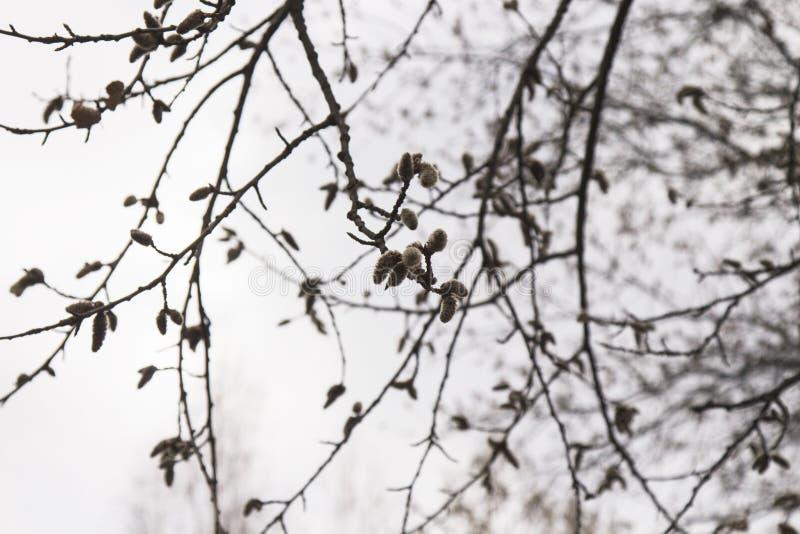 Pączki na drzewie wkrótce obracają w liście obraz stock