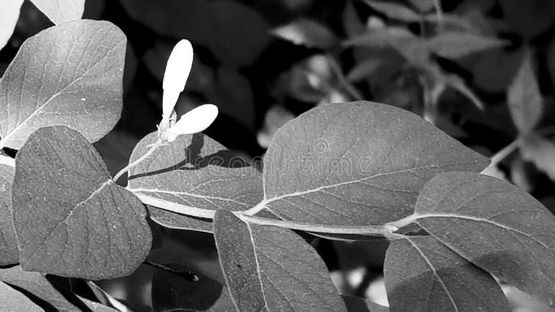 Pączki w czarny i biały zdjęcia stock