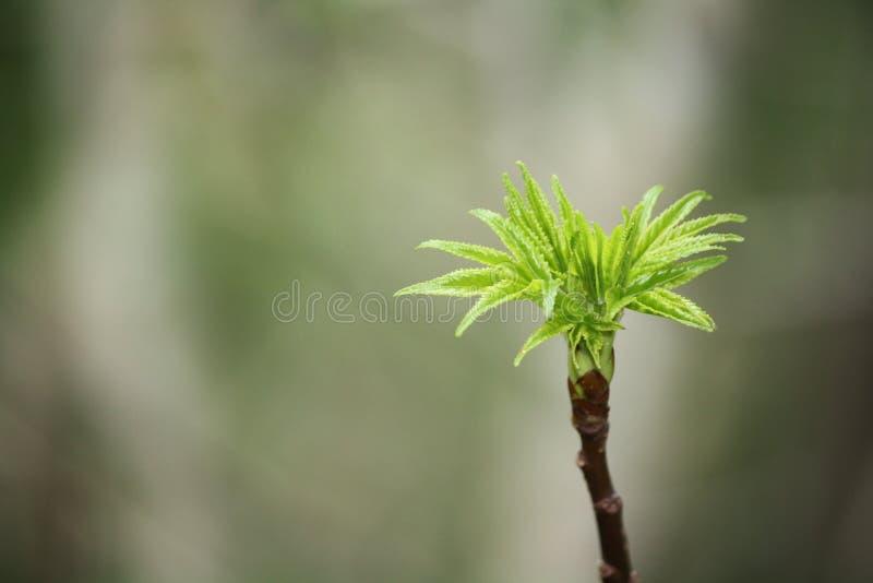 Pączkować liście zdjęcie stock