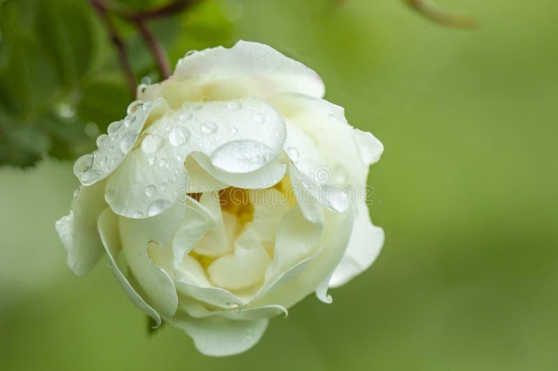 Pączkowe białe fragrant krzak róże z wodnymi kropelkami po rai zdjęcia royalty free