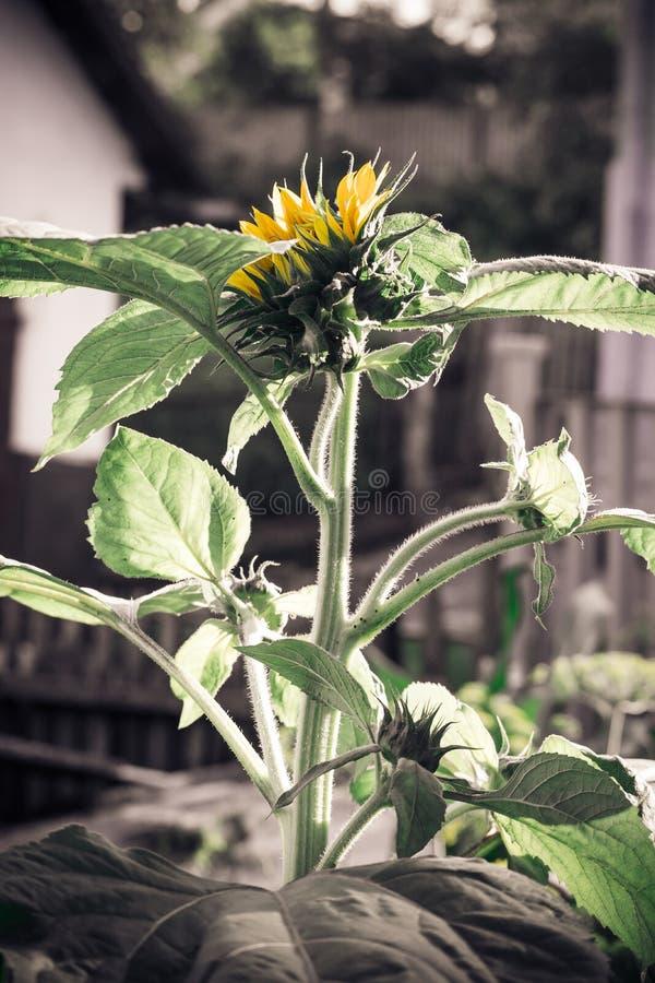 Pączkowi słoneczniki zdjęcie royalty free