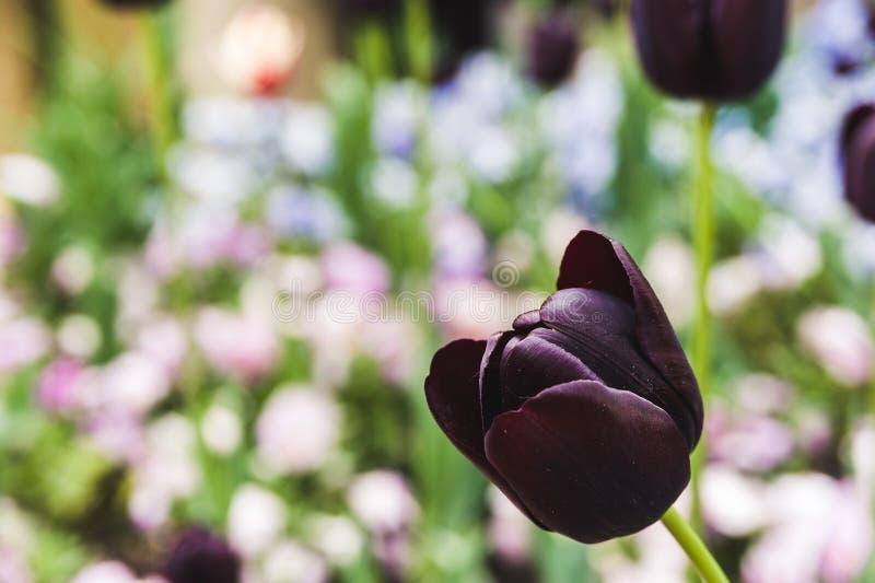 Pączkowy czarny tulipan na tle kwiatonośny gazon obrazy royalty free