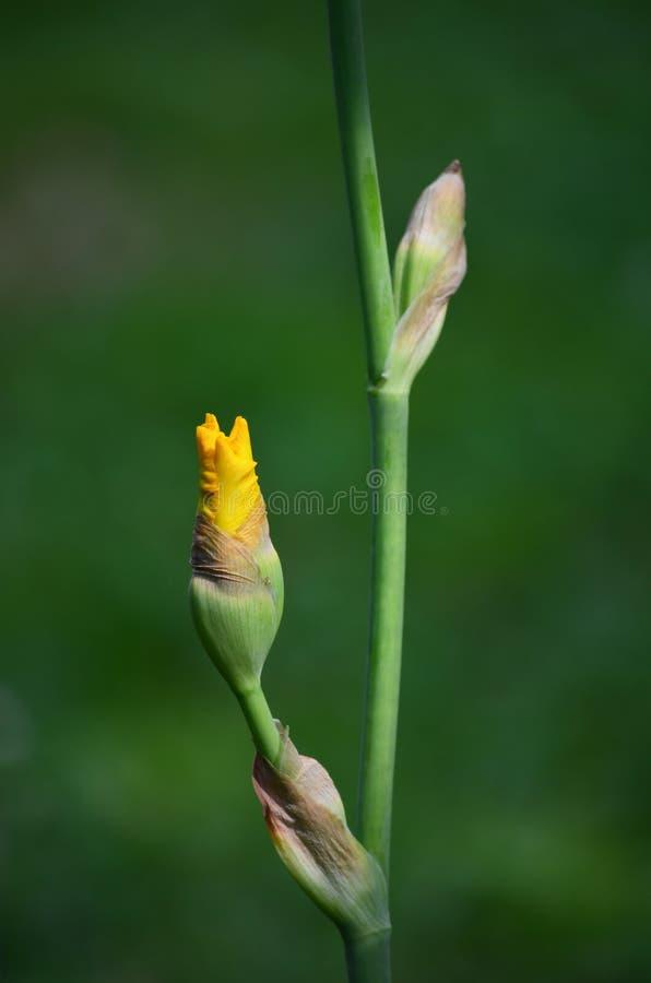pączkowy irysowy kolor żółty zdjęcia royalty free