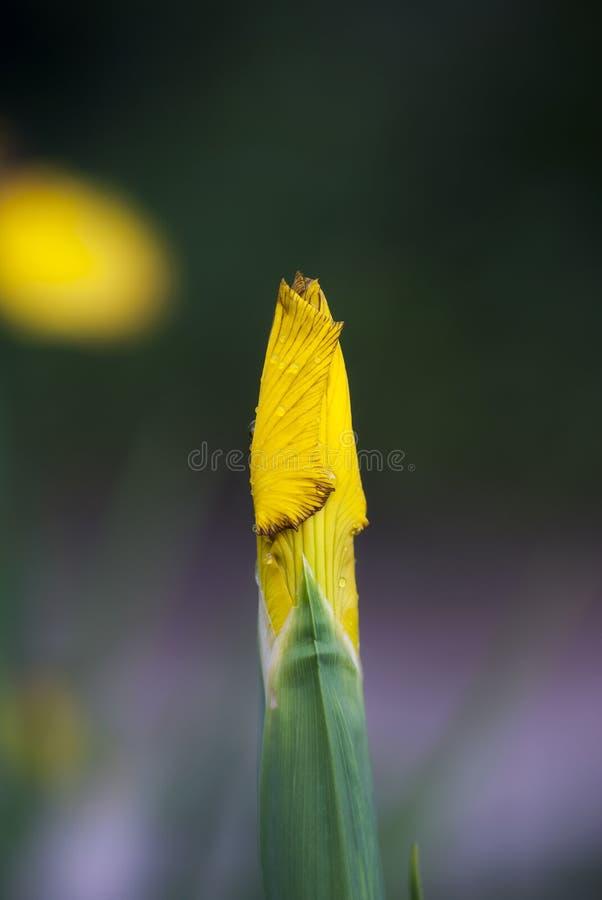 pączkowy irysowy kolor żółty fotografia royalty free