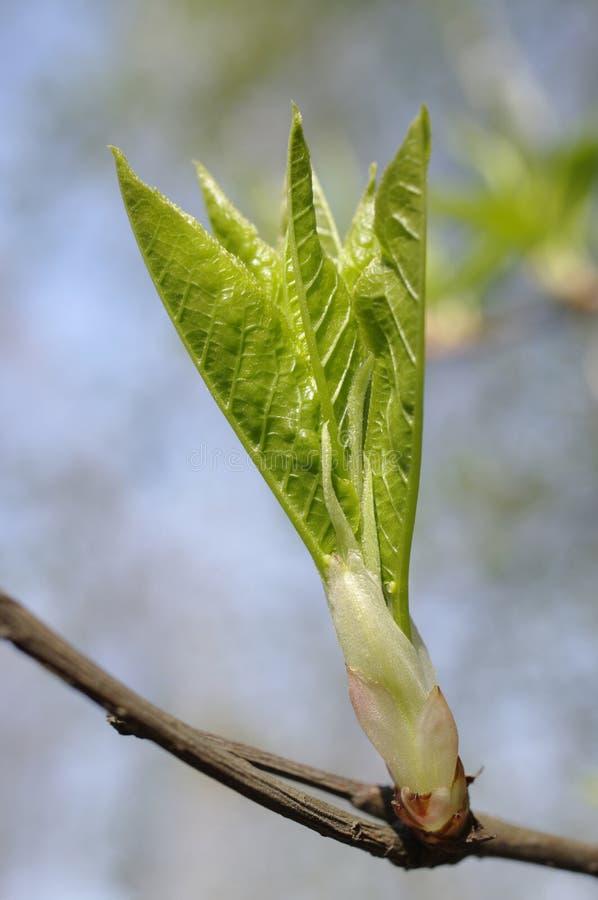 pączkowy liść obraz stock