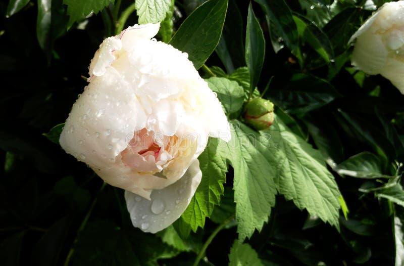 Pączkowy peonia biel fotografia royalty free