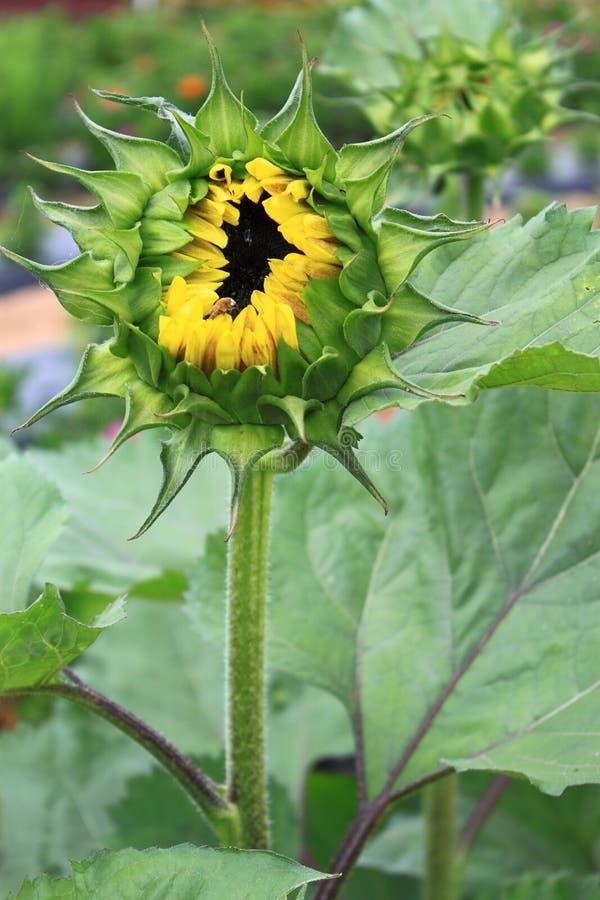 pączkowy słonecznik fotografia stock