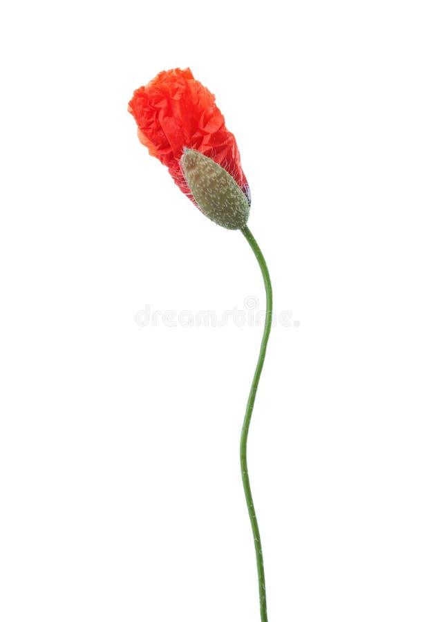 Pączkuje czerwony maczek odizolowywający na białym tle zdjęcie stock