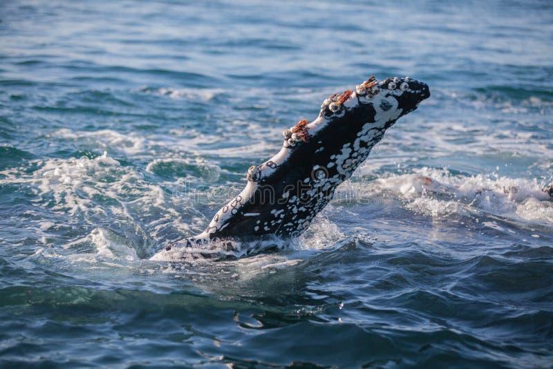 Pąkla zaskorupiający się fuks humpback wieloryb zdjęcia stock