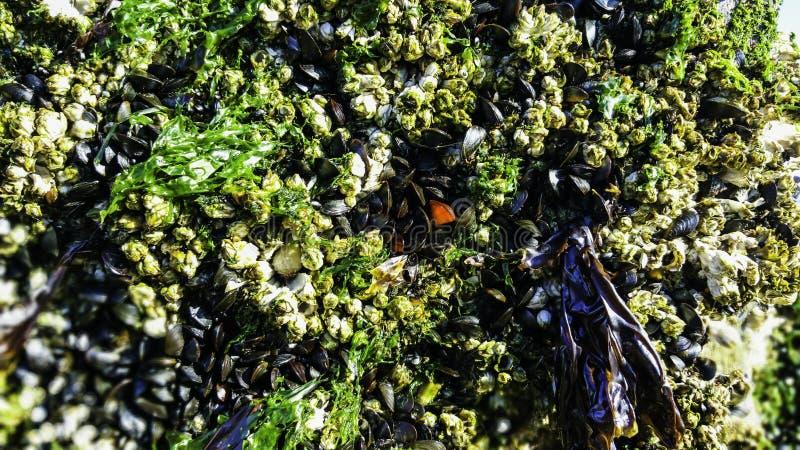 Pąkle i Mussels zdjęcie stock