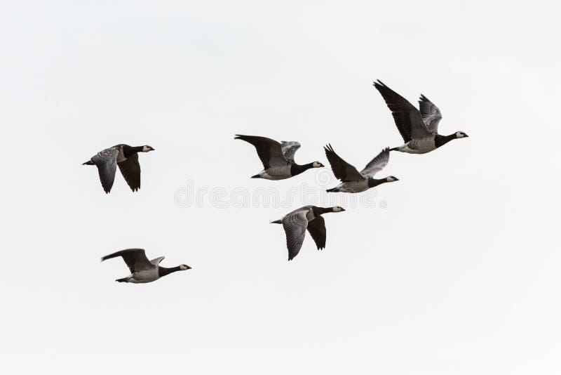 Pąkli gąski latanie zdjęcia stock