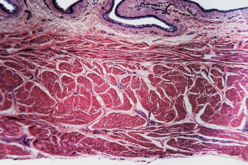 Pęcherzowa biologia przygotowywający kota mikroskopu obruszenia zdjęcie stock