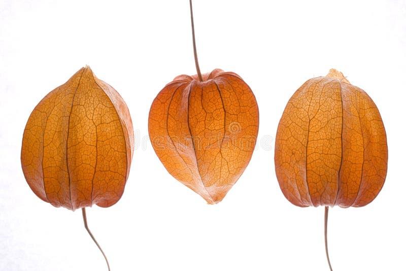 pęcherzyca orange zdjęcie royalty free
