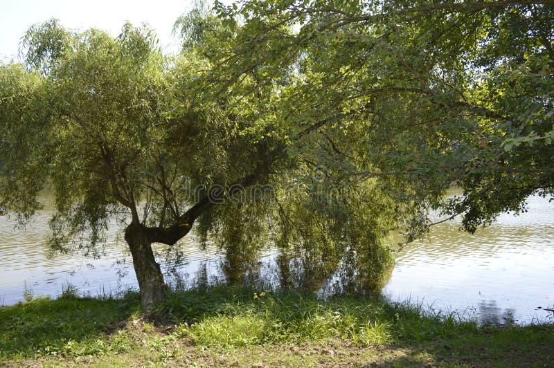 płacząca wierzba na jeziorze zdjęcie royalty free