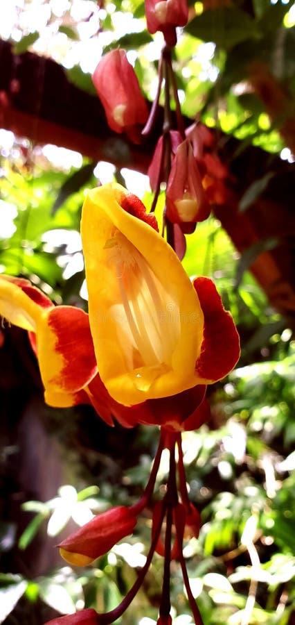 Płaczący nektar zdjęcie stock