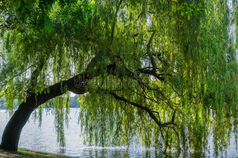 Płacze Wierzbowy drzewo zdjęcie royalty free