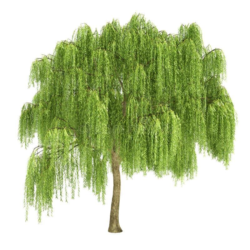 Płacze Wierzbowy drzewo Odizolowywający royalty ilustracja