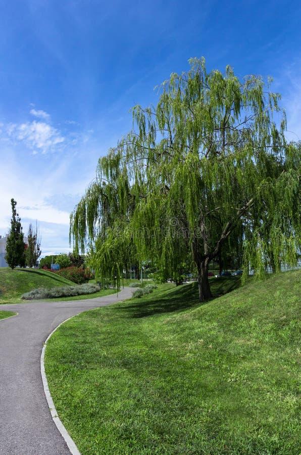 Płacze wierzbowy drzewo w schludnym miastowym parku obrazy royalty free