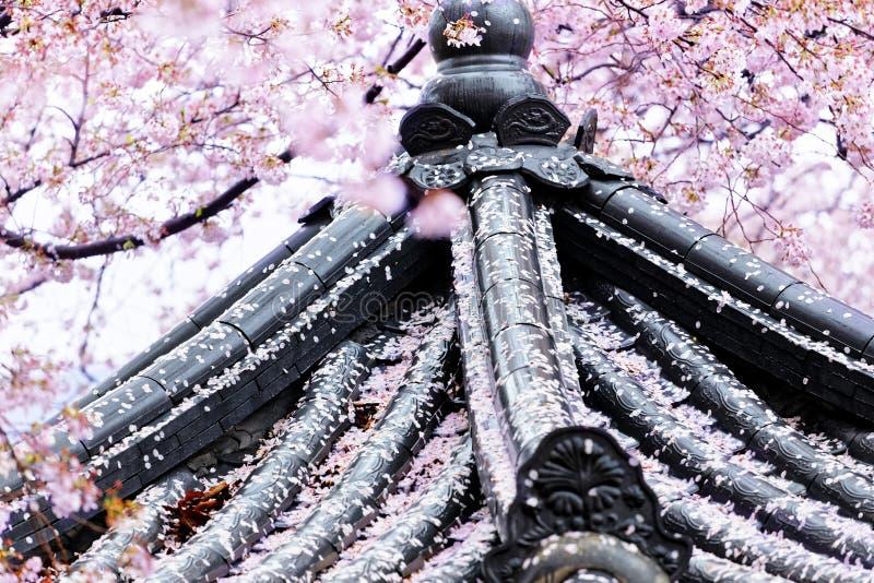 Płakać Sakura przed japońską świątynią obraz stock