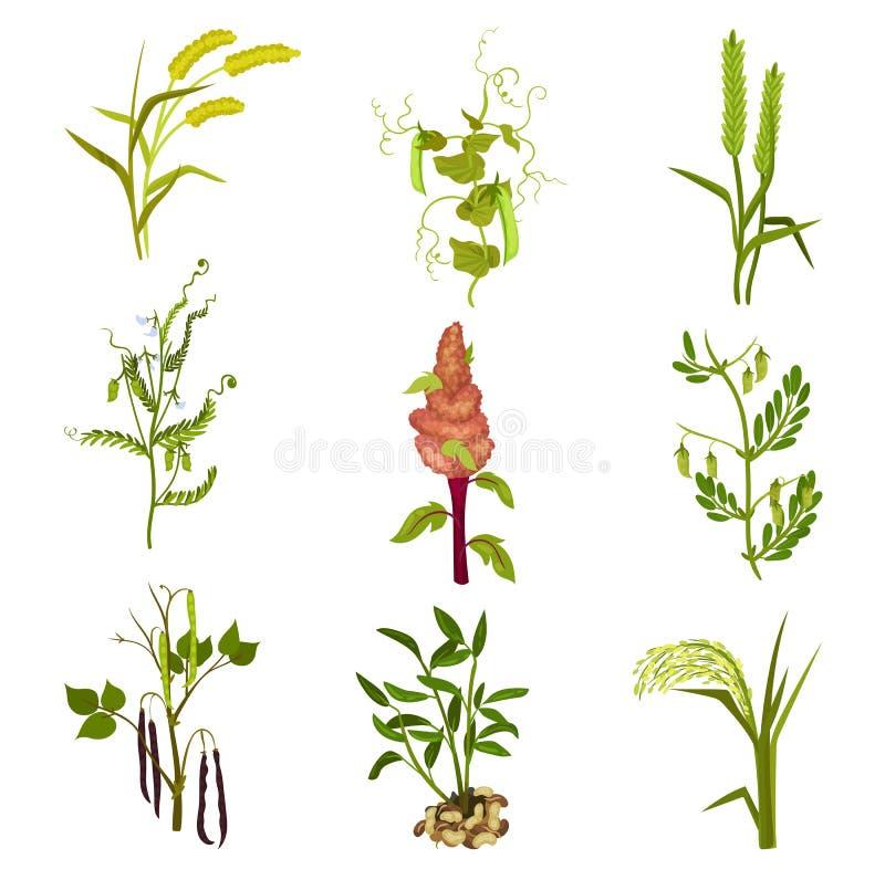 Płaski wektorowy ustawiający zboża i legumes rośliny Rolnicza uprawa Uprawiać ziemię temat Elementy dla produktu pakować ilustracja wektor