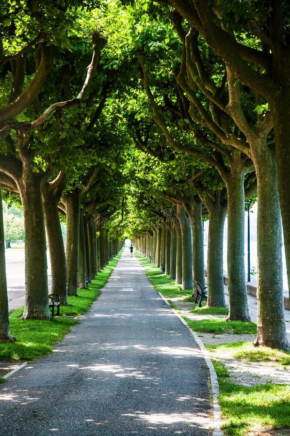 Płaskiego drzewa aleja fotografia stock