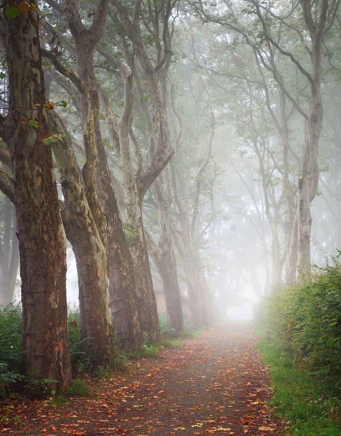 Płaskiego drzewa aleja w mgle obraz royalty free