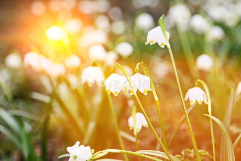 Płatek śniegu rośliny wiosna fotografia stock