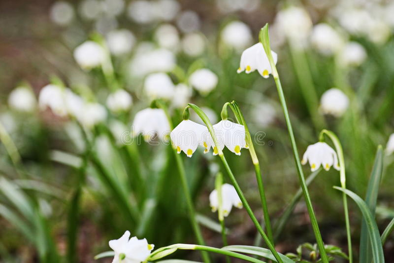 Płatek śniegu rośliny wiosna obraz stock