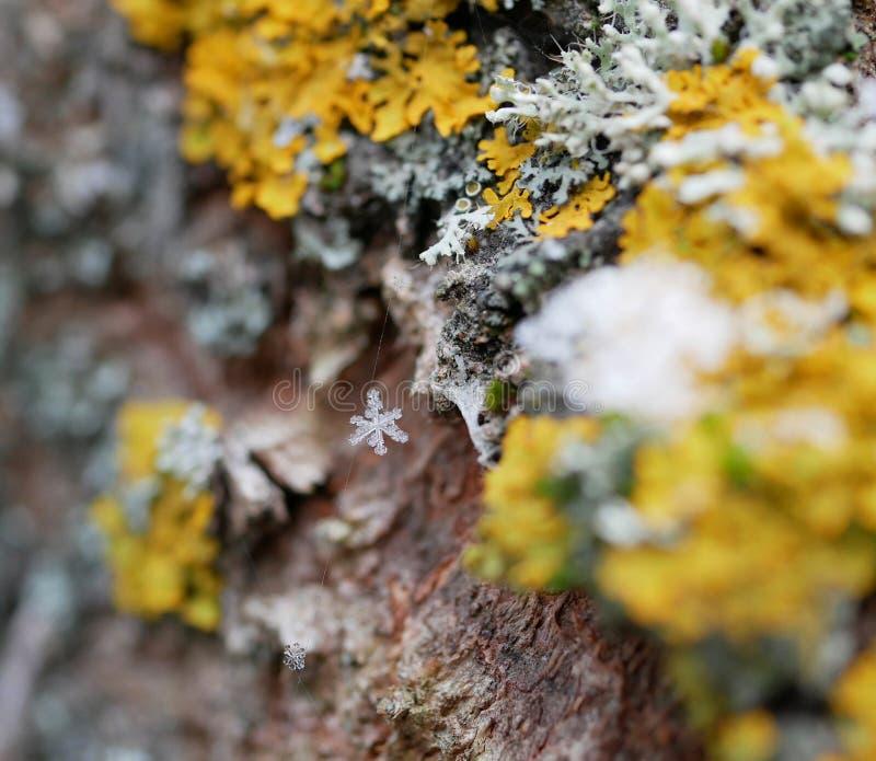 Płatek śniegu zaplątany w sieć rozciągającą się na porośnięciach na korze drzewa w mętny zimowy dzień Podejście z nowego roku i zdjęcia stock