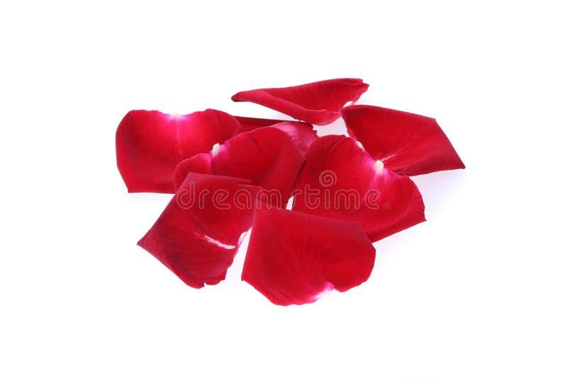 Płatek czerwieni róży kwiat zdjęcie stock