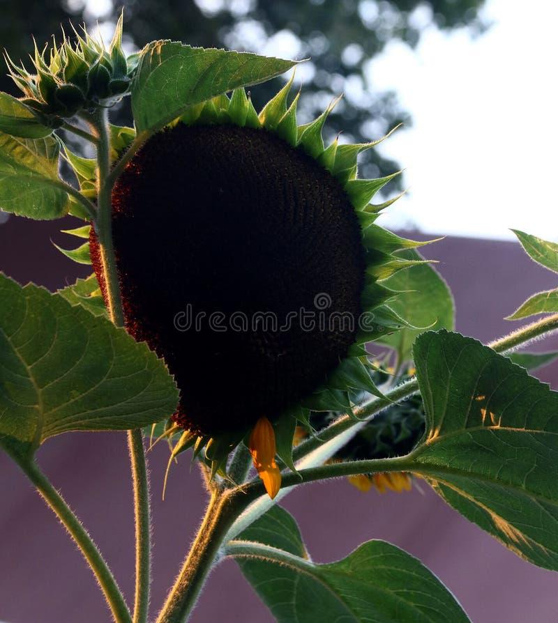 Płatek mniej słoneczników przy zmierzchem obraz royalty free