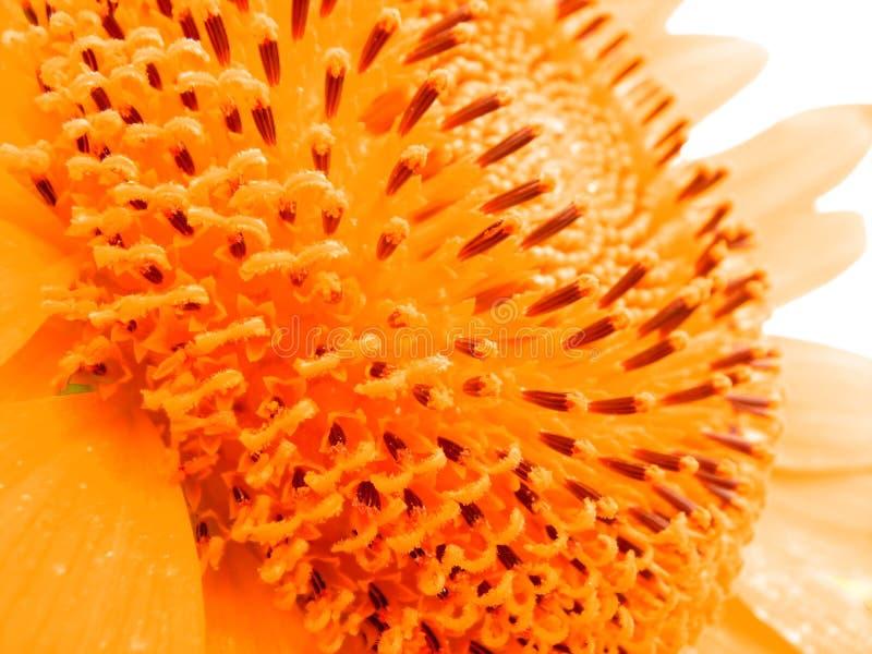 płatków pyłek n obraz royalty free