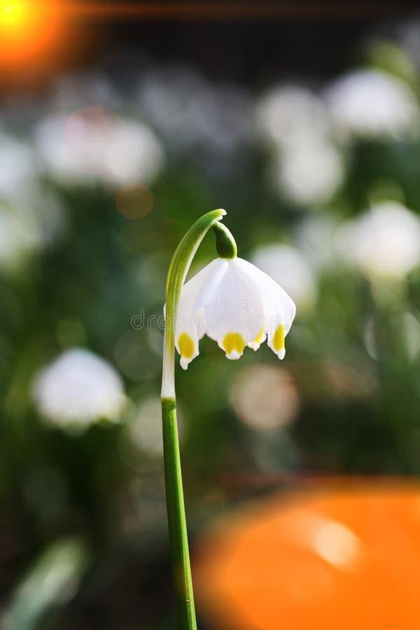 Płatka śniegu racy wiosna obrazy royalty free