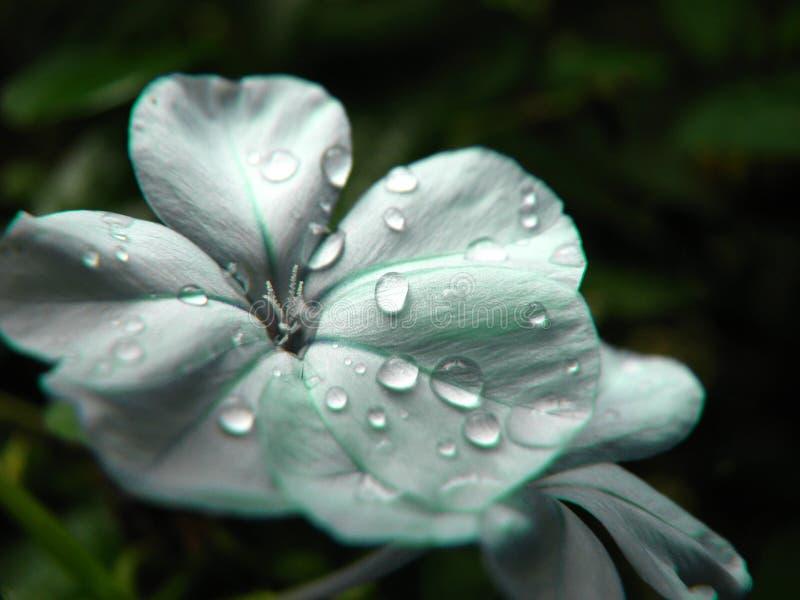 płatkami kropli deszczu obraz royalty free