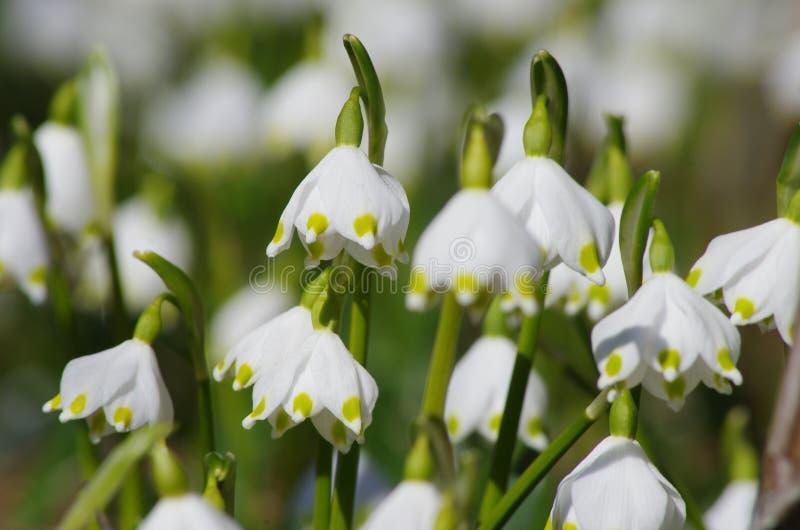 Płatki śniegu w wiosny łące zdjęcia royalty free