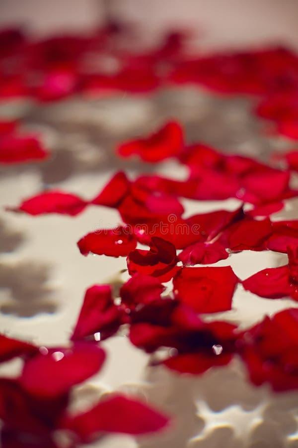 Płatki czerwone róże w białej łazience z czarnymi płytkami fotografia stock