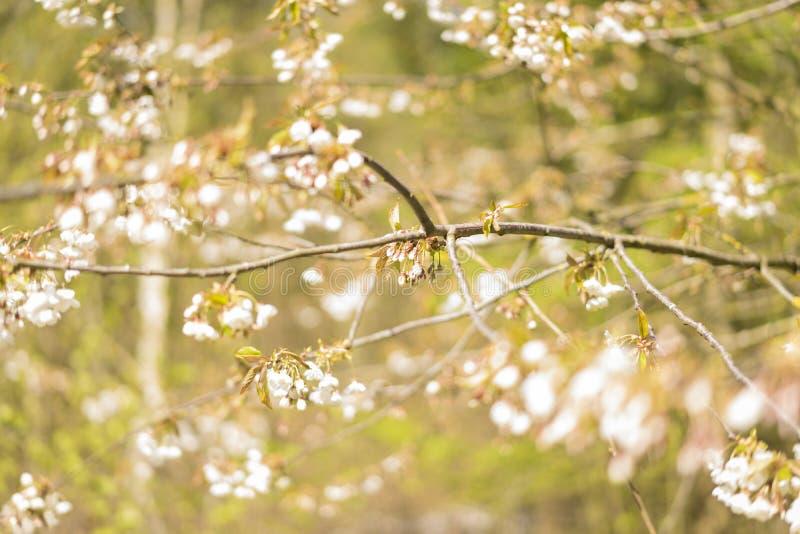 Płatki na drzewie w wiośnie zdjęcie royalty free