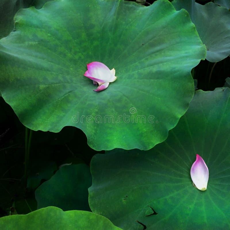 Płatki na lotosowych liściach zdjęcia royalty free